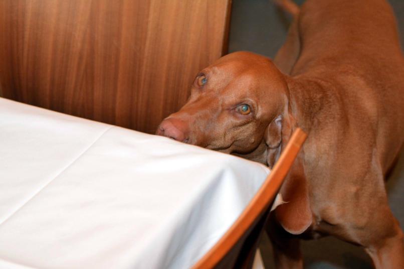 Bettwanzenspurhunde Bettwanzenspurhund Bettwanzensuchhunde